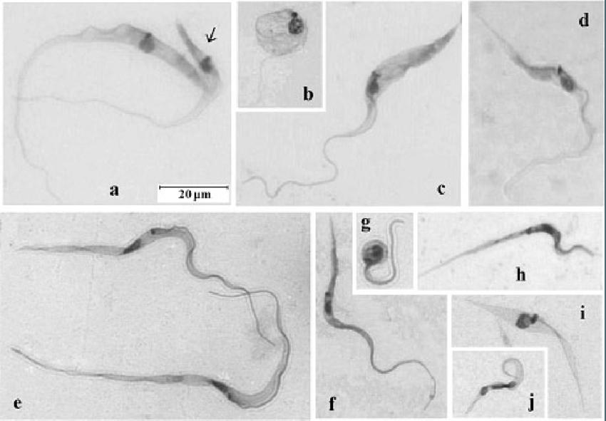Isolamento de Trypanosoma caninum